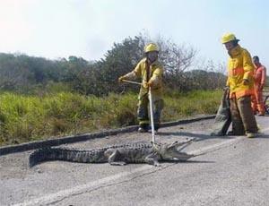 Atrapan bomberos a cocodrilo en Altamira