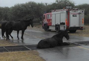 Rescataron un caballo atrapado en una rejilla