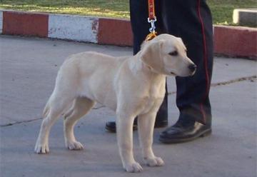 Bomberos de Cañuelas buscan un perro de rescate