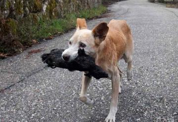 El perro viral del incendio de Galicia no llevaba a su cría calcinada