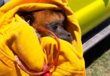 Bomberos de Charata rescataron a un mono carayá