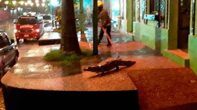Bomberos Voluntarios de Itá rescatan siete yacarés de las calles